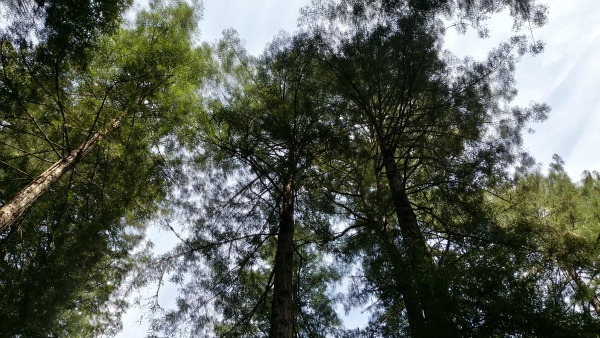 Photo: Four coastal redwoods viewed from the trunk up. They are in the foreground against a light blue sky with streaky clouds.