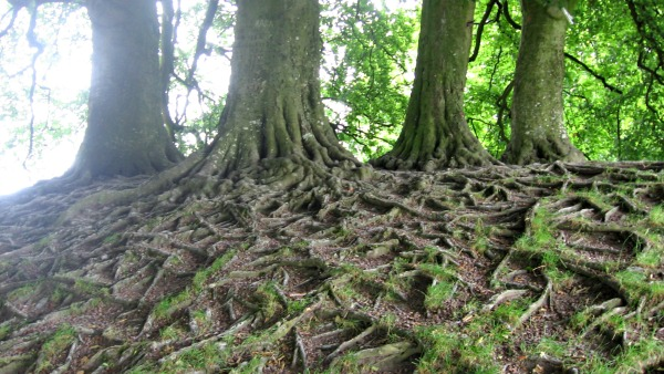 Exposed beech tree roots in the village of Avebury, Wiltshire, UK.