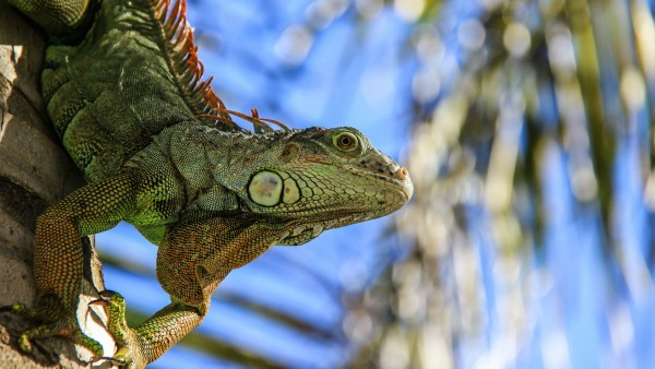 A large green lizard stands on a palm tree trunk. It is facing downward. In the background, blurry, are palm fronds and a bright blue sky.