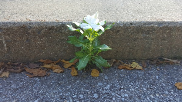 A white wildflower grows out of a parking lot crack.