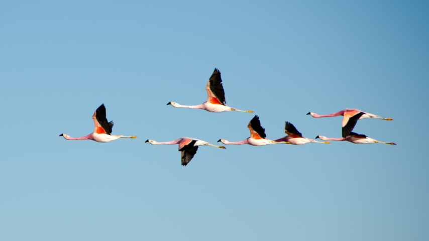 Chile: a flock of long-necked pink birds fly past a mountaintop.