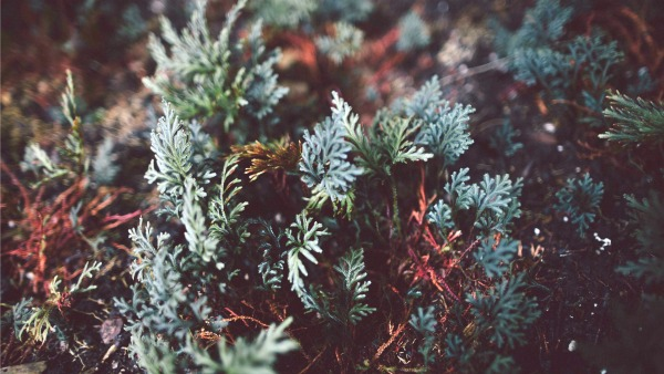 Close-up of evergreen tree branches: grey-green and brown branch twigs peeking through. The background and edges of the photo are out of focus.
