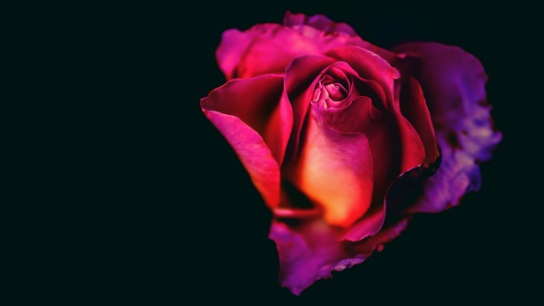 On a jet black background, a pink-to-purple rose. The lighting highlights the color of the flower and deep shadow. The flower is lit from the bottom left.