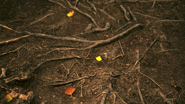 A root system photographed from above, with three orange and yellow leaves in each vertical third of the image.