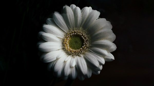 A white daisy on a dark and black field. The lighting is high contrast.