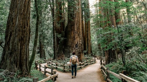 At Muir Woods, a man stands at the edge of two paths forking in front of him. Around him are giant coastal redwoods. They have been warped by the wind.