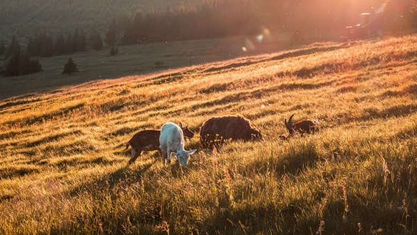 Four or five goats eat grass in the low sunlight of the evening.